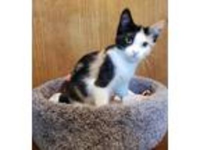 Adopt Pepper Potts a Domestic Short Hair, Calico