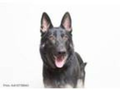 Adopt Finn a German Shepherd Dog, Mixed Breed