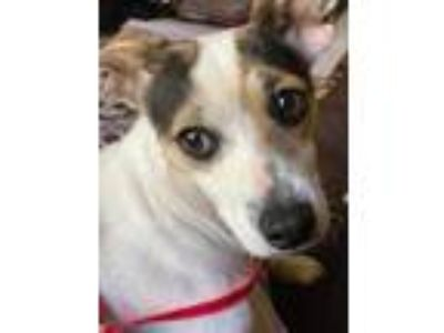 Adopt Peggy Bundy a White Jack Russell Terrier / Mixed dog in Cumming