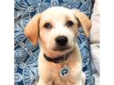 Adopt Peanut Butter a White - with Red, Golden, Orange or Chestnut Labrador