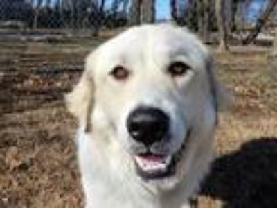 Adopt Yeti 5880 a Great Pyrenees