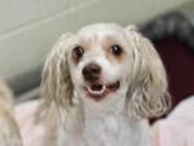 Adopt June aka Maddy a Poodle (Standard) / Bichon Frise / Mixed dog in Virginia