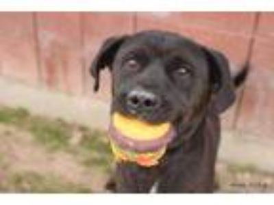 Adopt Diesel a Black Labrador Retriever / Mixed dog in Caldwell, ID (23715349)