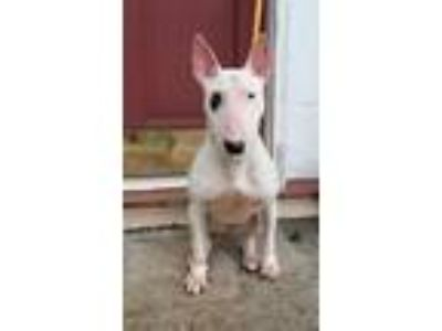 Adopt Lola a White Bull Terrier / Mixed dog in Lawrenceville, GA (25293213)
