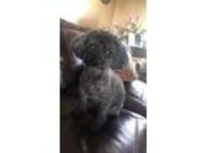 Adopt Dandy in KY a Poodle