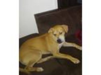 Adopt Sam a Tan/Yellow/Fawn Labrador Retriever / Boxer dog in Altamonte Springs