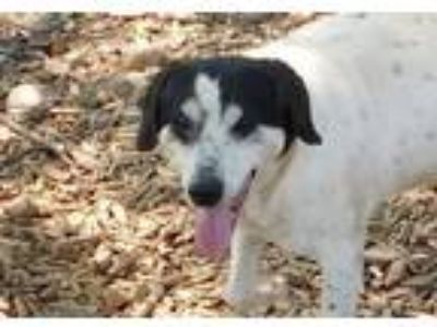 Adopt Nicky a Australian Shepherd, Australian Cattle Dog / Blue Heeler