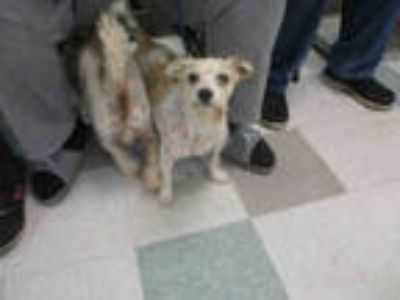 Adopt KING a White - with Tan, Yellow or Fawn Schnauzer (Miniature) / Mixed dog