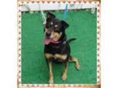 Adopt KARMA a Black - with Tan, Yellow or Fawn Miniature Pinscher / Mixed dog in