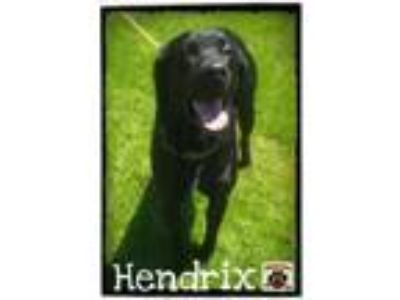 Adopt Hendrix a Black Labrador Retriever / Mixed dog in Ashtabula, OH (24842127)