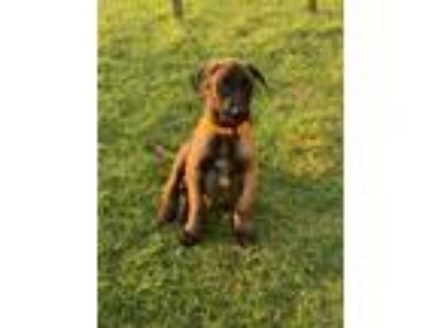 Adopt Fitzy Puppy Foster Needed 5/18 a Belgian Shepherd / Malinois