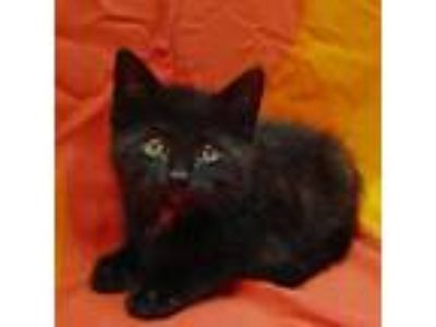 Adopt Ruger a All Black Domestic Shorthair / Domestic Shorthair / Mixed cat in