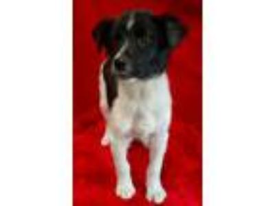 Adopt BOLERO a Border Collie