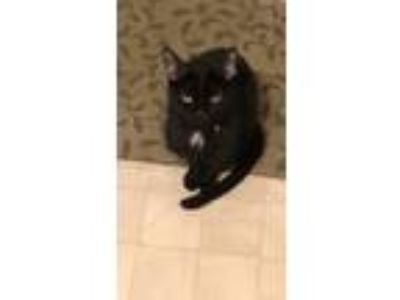 Adopt Lucky a Black (Mostly) Bombay / Mixed cat in North Royalton, OH (23963741)