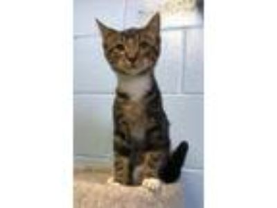 Adopt Micky D a Domestic Short Hair