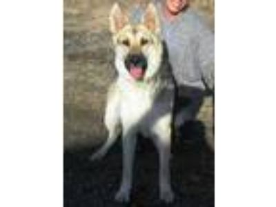 Adopt Diamond a German Shepherd Dog, Siberian Husky