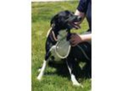 Adopt Missy Moo a Border Collie