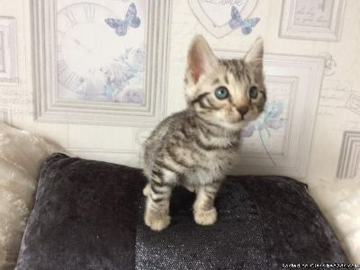 Stunning Bengal Kittens available