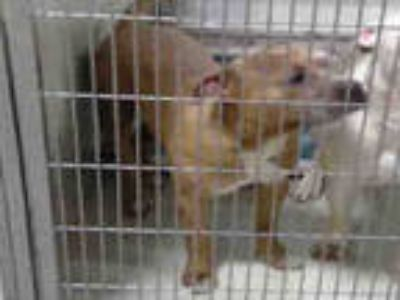 Adopt *HYDE a Brown/Chocolate American Pit Bull Terrier / Mixed dog in