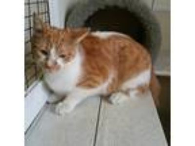 Adopt Lays a Orange or Red (Mostly) Domestic Shorthair / Mixed (short coat) cat