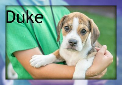 Duke: Male Beabull Puppy