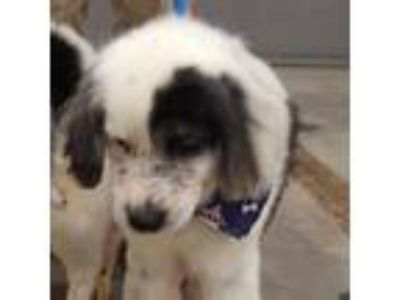 Adopt Odion a White - with Tan, Yellow or Fawn Cocker Spaniel dog in Chatham