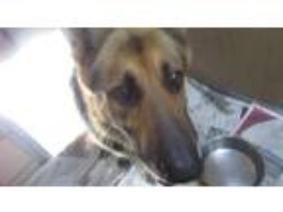 Adopt Hank aka Bronson a German Shepherd Dog / Mixed dog in Homer Glen