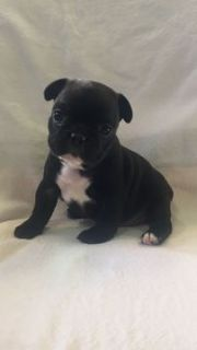French Bulldog PUPPY FOR SALE ADN-92961 - Female French Bulldog