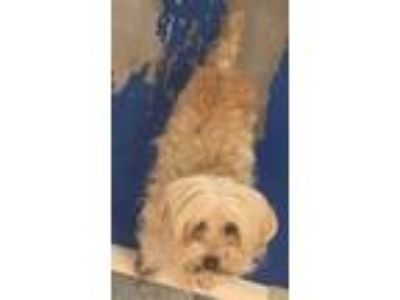 Adopt Petunia a Tan/Yellow/Fawn Lhasa Apso dog in Weatherford, TX (25541519)