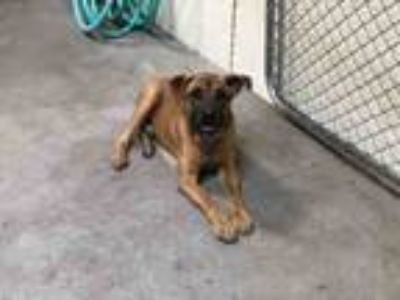 Adopt ZEE a German Shepherd Dog, Pit Bull Terrier