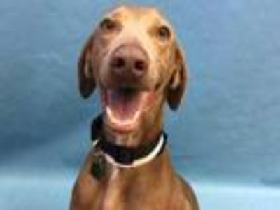 Adopt River a Tan/Yellow/Fawn Weimaraner / Mixed dog in St. Paul, MN (25362338)