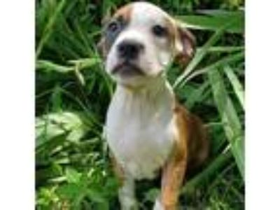 Adopt Doctor Zoe Hart a Brown/Chocolate Boxer / Pit Bull Terrier dog in