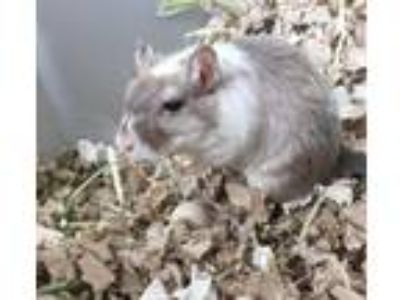 Adopt Rapunzel a Brown or Chocolate Gerbil small animal in Monrovia
