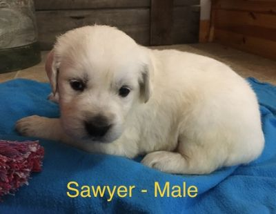 Golden Retriever PUPPY FOR SALE ADN-98120 - Sawyer  English Cream Retriever