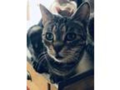 Adopt Madison a American Shorthair