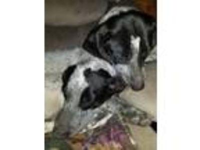 Adopt Princess & Chanti a Bluetick Coonhound