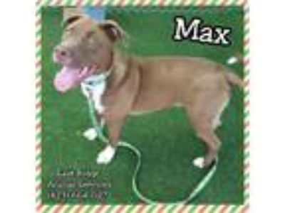 Adopt Max a Border Collie, Pit Bull Terrier