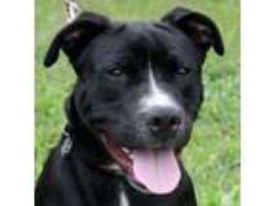 Adopt Jack Pine a Black American Pit Bull Terrier / Mixed dog in Ann Arbor