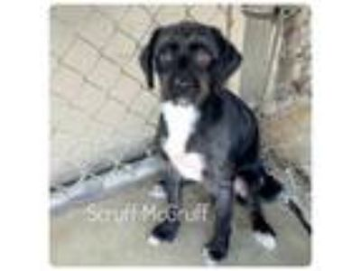 Adopt Scruff McGruff a Terrier (Unknown Type, Small) / Mixed dog in Ocala