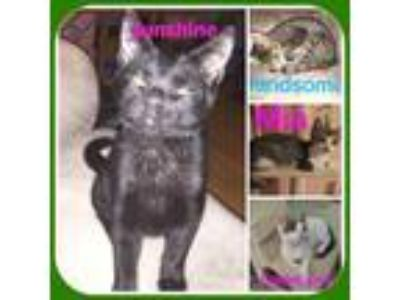 Adopt KITTENS & CATS - SEE 11ADD. CAT PICS a American Shorthair