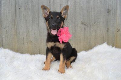 German Shepherd Dog PUPPY FOR SALE ADN-90947 - COCO