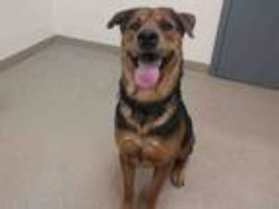 Adopt OAKLEY a Rottweiler, German Shepherd Dog