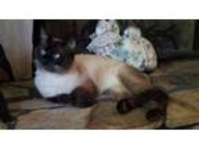 Adopt STEEL a Domestic Short Hair, Siamese