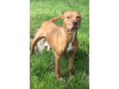 Adopt Brenda a Tan/Yellow/Fawn Pit Bull Terrier / Mixed dog in Waldorf