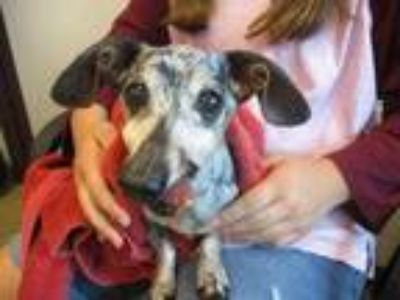 Adopt Doobie a Tan/Yellow/Fawn Dachshund / Mixed dog in Irving, TX (25563520)