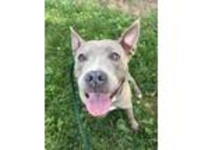 Adopt Jewel a Brown/Chocolate American Pit Bull Terrier / Mixed dog in