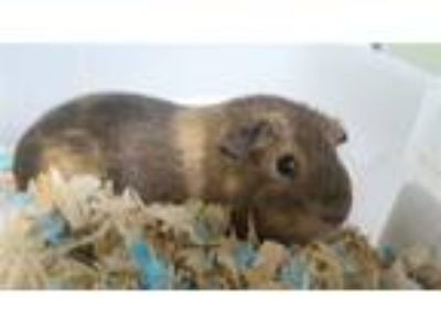 Adopt Baby a Guinea Pig (short coat) small animal in Brooklyn, NY (25823063)