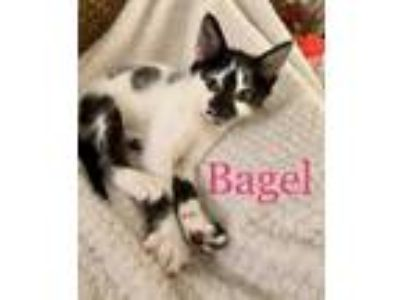 Adopt Bagel a Domestic Shorthair / Mixed (short coat) cat in Cumming