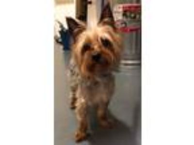 Adopt 19-06-1709 Oliver a Yorkshire Terrier