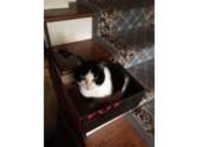 Adopt Jazzy a Black & White or Tuxedo Domestic Mediumhair cat in Pittsford
